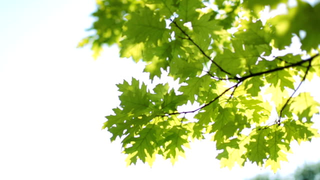 fresh green leaves - maple tree stock videos and b-roll footage