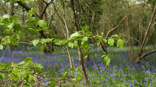 Fresh green leaves with bluebells in background