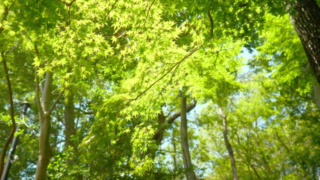 fresh green maple leaves waving in forest - tree stock videos & royalty-free footage