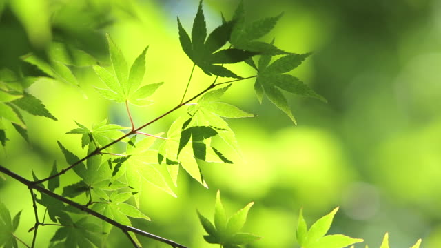 fresh green maple - 10 seconds or greater stock videos & royalty-free footage