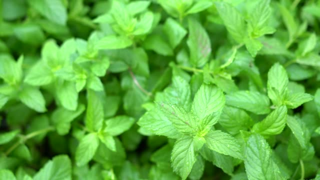 fresh green mint plants in growth at field from above - mint leaf culinary stock videos and b-roll footage
