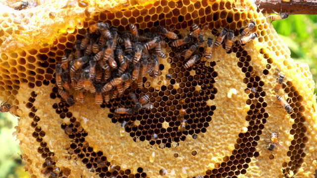 stockvideo's en b-roll-footage met verse honing - honingbij
