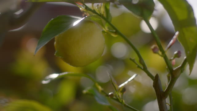 a fresh juicy lemon on a tree - vitamin a nutrient stock videos & royalty-free footage