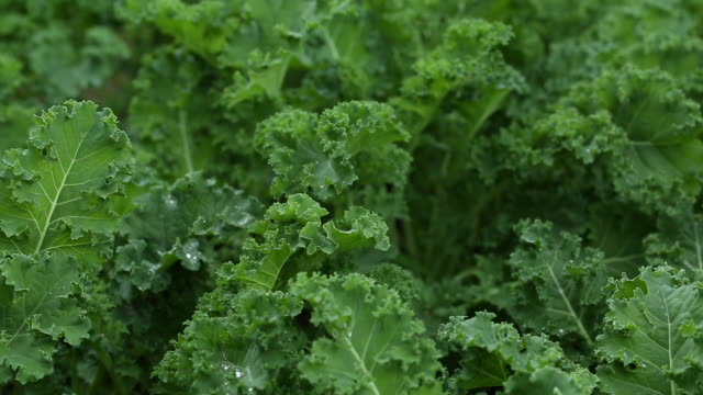 fresh kale in the garden, pan - crucifers stock videos and b-roll footage