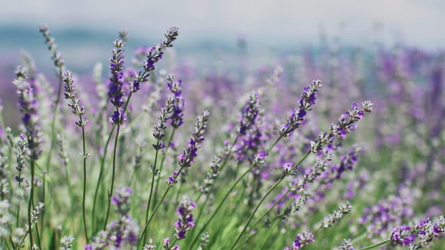 fresh lavender flowers wiggling in wind on field - lavender stock videos & royalty-free footage