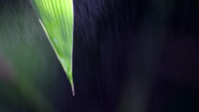 vídeos de stock, filmes e b-roll de bambu de folha fresca - folha de bambu