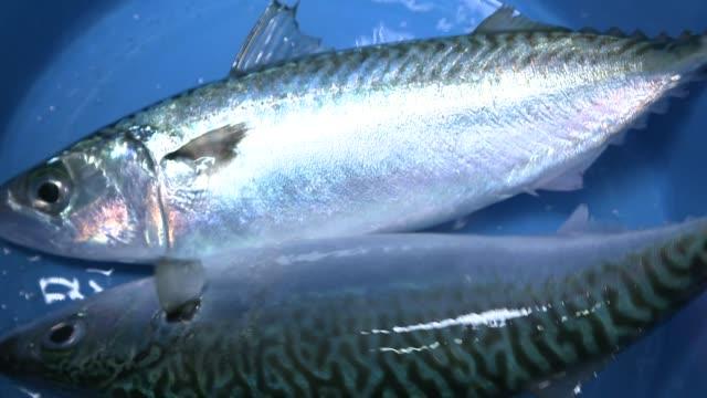 Fresh mackerel in a basket