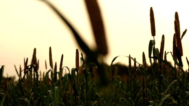 fresh millet crop - grain cart stock videos & royalty-free footage