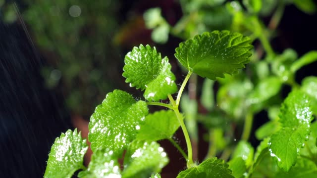 fresh mint close-up - mint leaf culinary stock videos and b-roll footage