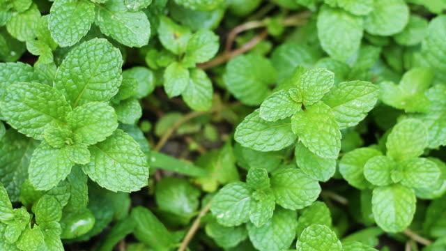 vídeos y material grabado en eventos de stock de verduras y hierbas de menta fresca en tailandia - mint leaf culinary