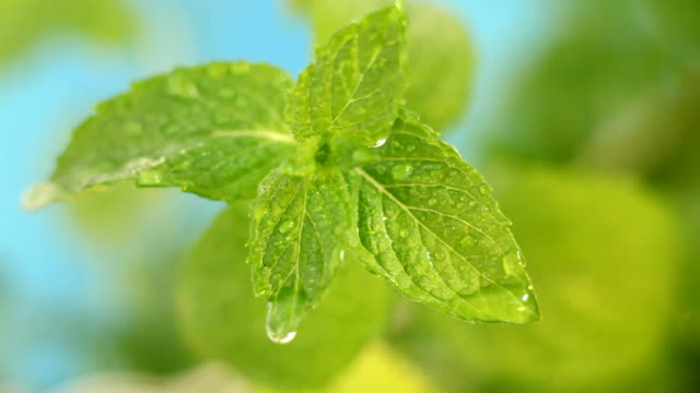 fresh mint - mint leaf culinary stock videos and b-roll footage