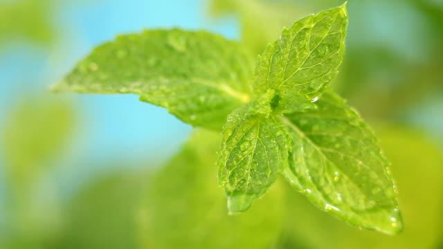 vídeos y material grabado en eventos de stock de menta fresca - mint leaf culinary