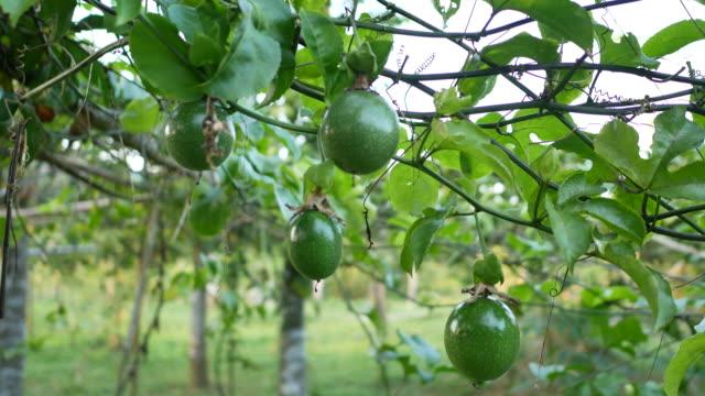 färsk natur omogna passionsfrukt - passionsfrukt bildbanksvideor och videomaterial från bakom kulisserna