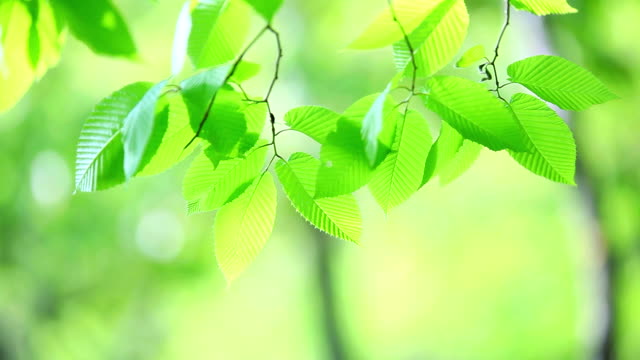 fresh new green leaves glowing in forest - translucent stock videos & royalty-free footage
