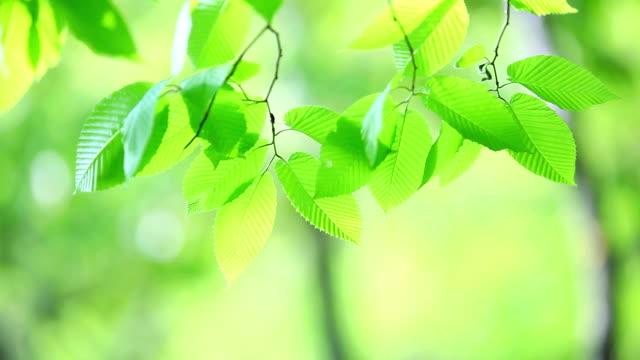 stockvideo's en b-roll-footage met fresh new green leaves glowing in forest - doorschijnend