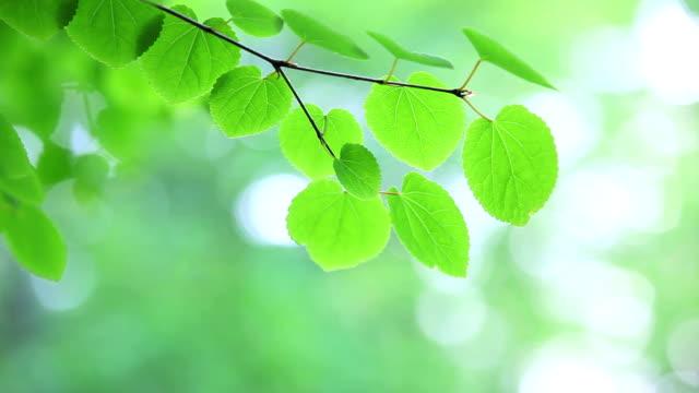 frische grüne blätter glühend im wald - partiell lichtdurchlässig stock-videos und b-roll-filmmaterial