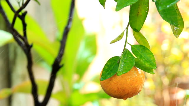 fresh orange - citrus fruit stock videos & royalty-free footage