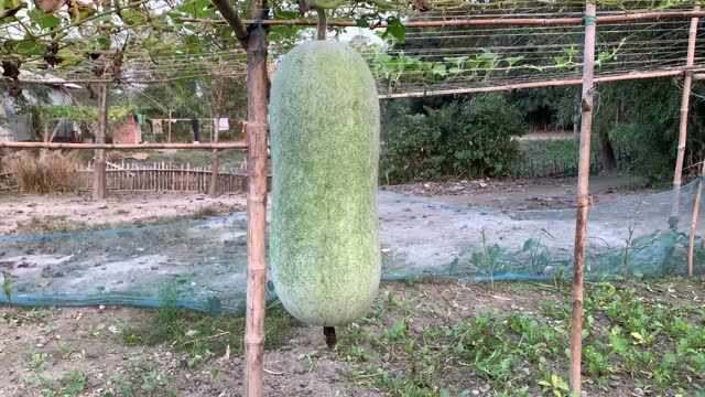 a fresh organic bottle gourd in a agriculture farm - gourd stock videos & royalty-free footage