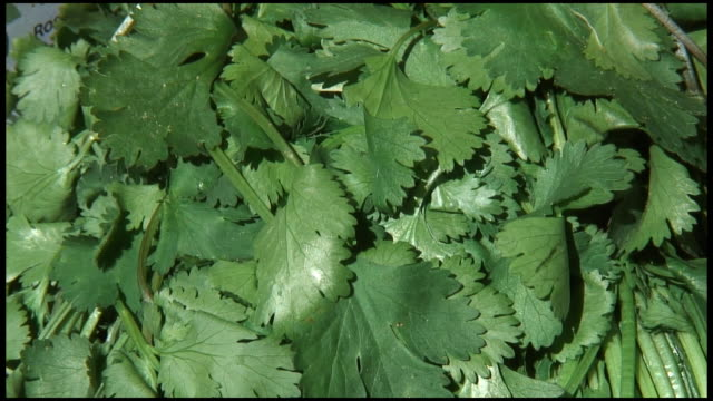 (hd1080i) fresh organic coriander / cilantro - cilantro stock videos and b-roll footage