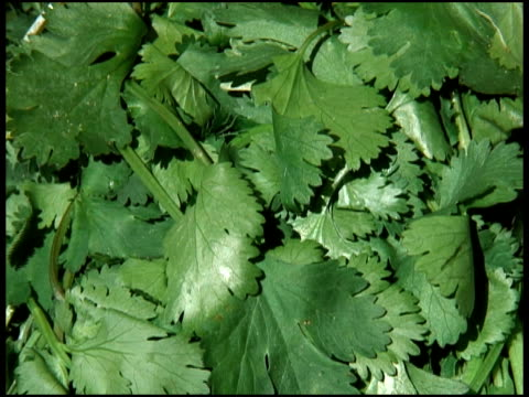 fresh organic coriander / cilantro - cilantro stock videos and b-roll footage