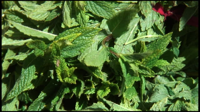 (hd1080i) fresh organic mint - mint leaf culinary stock videos and b-roll footage