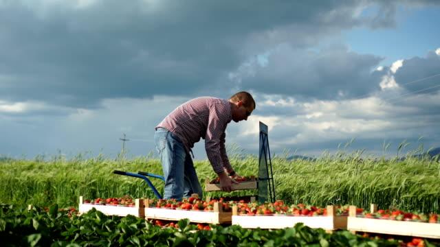 fresh organic strawberries - freshness stock videos & royalty-free footage