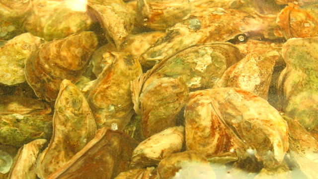 fresh oysters in fish shop - mollusk stock videos & royalty-free footage