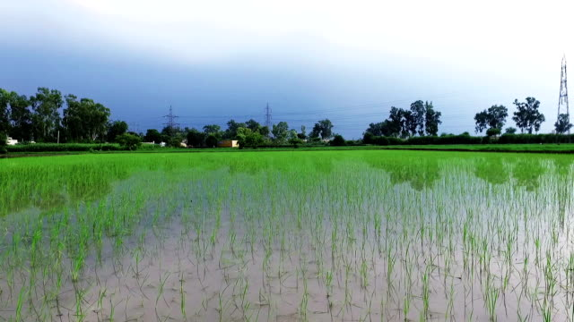 Fresh paddy crop elevated view