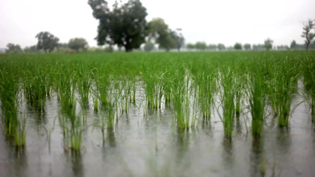 fresh paddy crop - torrential rain stock videos & royalty-free footage