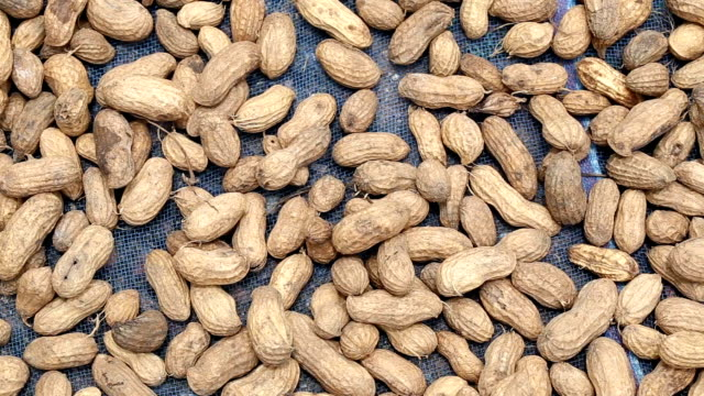 fresh peanuts of are dried. - peanut food stock videos and b-roll footage