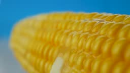 Fresh piece of butter melts on ripe yellow fresh corn on blue background