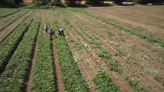 fresh produce left to rot in fields due to not matching supermarket specifications; england: ext leaves pull focus workers picking vegetables drone... - freshness stock videos & royalty-free footage