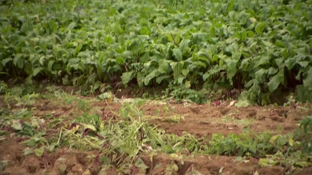 fresh produce left to rot in fields due to not matching supermarket specifications; england: ext drone footage beetroot field rotten beetroots... - freshness stock videos & royalty-free footage