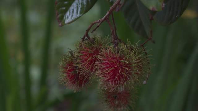 vídeos de stock, filmes e b-roll de fruta fresca de rambutan em árvore na chuva - jovem de espírito