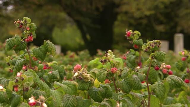 vídeos de stock, filmes e b-roll de fresh raspberries on farm - framboesa