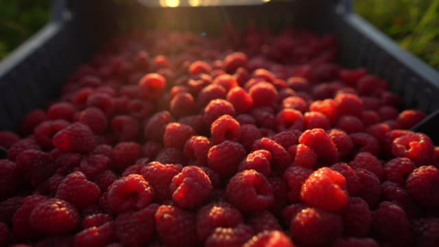 fresh red raspberries in crate in the middle of field - brambleberry stock videos & royalty-free footage