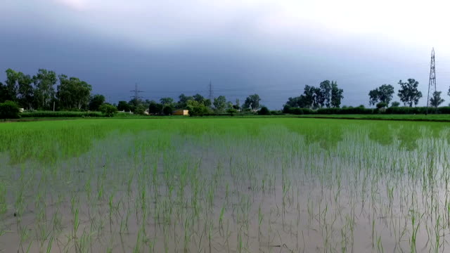 Fresh Rice Paddy Farm