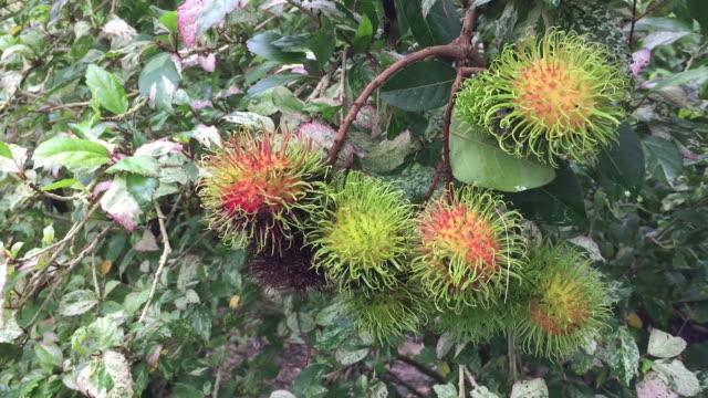 Fresh ripe rambutan fruit