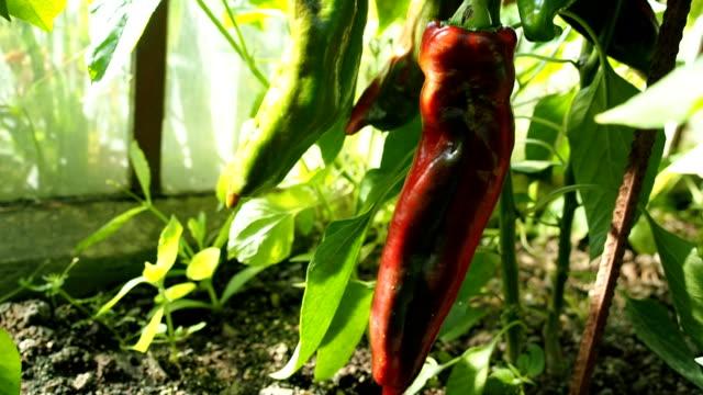 Frische reife rote und grüne Paprika im Gewächshaus VIDEO