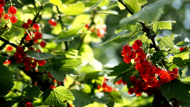 Fresh ripe red currants in the garden in HD