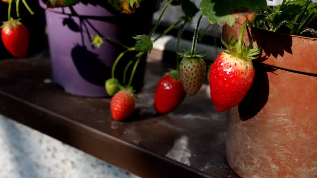 fresh ripe red strawberries in the flower pot in hd - flower pot stock videos and b-roll footage