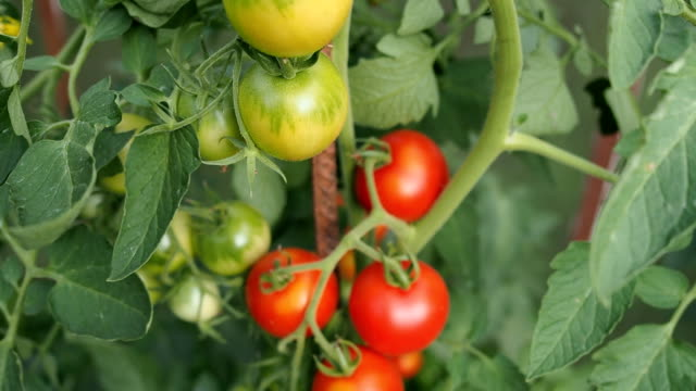 fresh ripe red tomatoes in the greenhouse in hd - ripe stock videos & royalty-free footage