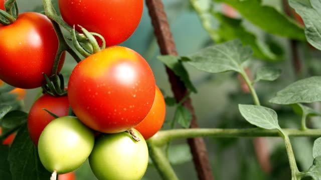 HD の温室で新鮮な熟した赤いトマト