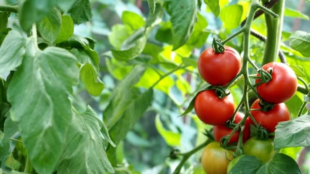 熟した赤いトマト温室ビデオ