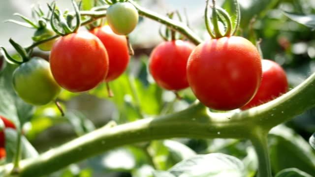 Frische reife rote Tomaten im Gewächshaus VIDEO