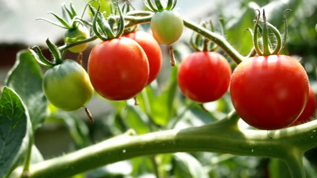 Fresh ripe red tomatoes in the greenhouse VIDEO