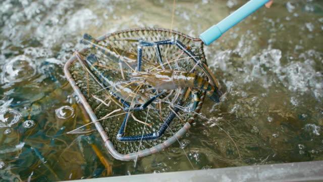 vídeos de stock e filmes b-roll de fresh river prawn seafood for sale in the fish market. - camarão