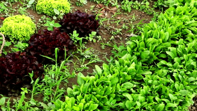 Fresh salad on agriculture field