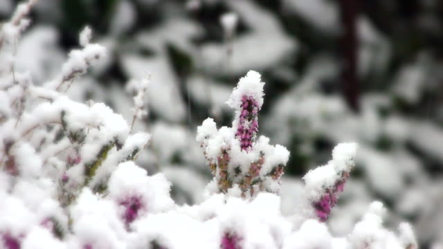 fresh snow on heather - heather stock videos & royalty-free footage