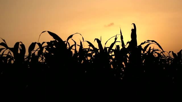 Verse sorgho gewas en zonsondergang